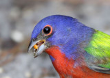 Painted Bunting ,male