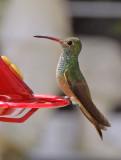 Hummingbird, Buff-breasted