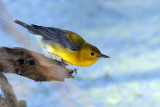 Prothonotary Warbler-female