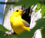 Prothonotary Warbler, male,  nesting hole