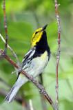 Black-throated Green Warbler, male