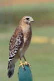 Red-shouldered Hawk, Central Winds Park,Fl.