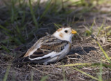 Snow Bunting , in Florida, talk about rare