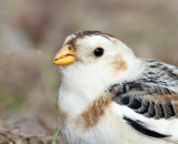 Snow Bunting  , Palm Coast, Florida