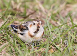 Snow Bunting with lunch or maybe dinner