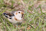 Snow Bunting with a good meal