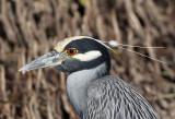 Night-Heron, Yellow-crowned, head shot
