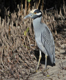 Night-Heron, Yellow-crowned