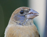 1st winter Blue Grosbeak,2011-01-29