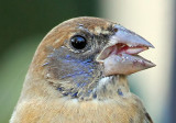 1st winter Blue Grosbeak,2011-01-29, notice it turning blue.