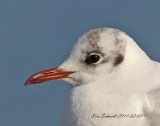 Black-headed Gull, a rare Gull for Florida,USA