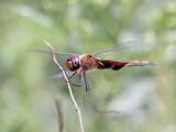 dragonflies_and_damselfies