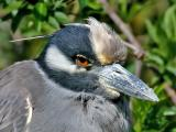 Yellow-crowned Night Heron.,02-11-2006