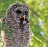 Baby Barred Owl with lunch. 05-07-2006