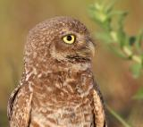 Burrowing Owl,head image, 05-28-2006