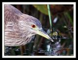 Black-crowned Night-Heron,juvenile