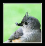 Tufted Titmouse,100% crop,06-13-2006