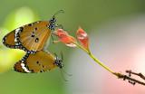 plain_tiger_butterfly