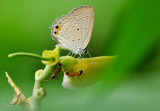 gram_blue_butterfly