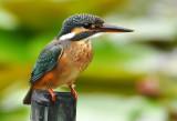 common_kingfisher_ty