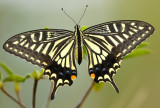 swallow_tail