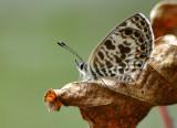 zebra_blue_butterfly
