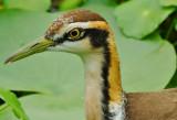 pheasant-tailed_jacana 2012
