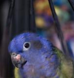 Bobby (Pionus menstruus) -- Blue Head Pionus -- hatch date: Nov 1997