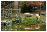Reflections of Babydoll Sheep