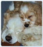 Buddy-n-Bailey Napping (cropped)