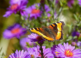 Painted Lady on Fall Asters