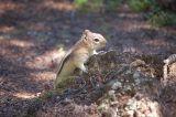 golden mantle squirrel_1.jpg