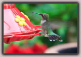 Ruby-Throated Humming Bird (1)