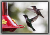 Ruby-Throated Humming Birds (2)