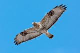 Rough-legged Buzzard (Buteo lagopus), called the Rough-legged Hawk in North America