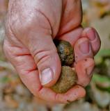 Black Truffles (Tuber Melanosporum)