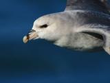 Fulmar (Noordse Stormvogel)