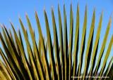 """""""Fan Palm"""""""