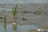 Glasworth spec. (Salicornia spec.)