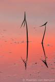 Arrowhead (Sagittaria sagitti)