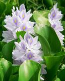 10110.JPG    »ñ²´ÂÅ water hyacinth (Eichhornia crassipes )