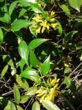 40429.JPG  Â_¸z¯ó  Graceful Jesamine  (Loganiaceae)