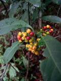 50225.jpg  ¤E¸`   Red Psychotria  (Psychotria asiatica)