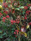 50440.jpg Ûn«´  greenbrier (Smilacaceae)