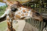 Giraffe Hello