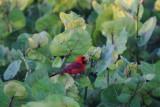 Cardinal in the sea grape