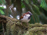 Vrabac.jpg