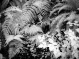 Twin Falls Ferns
