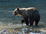 Grizzly Bear 1a.jpg