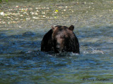 Grizzly Bear fishing 2a.jpg